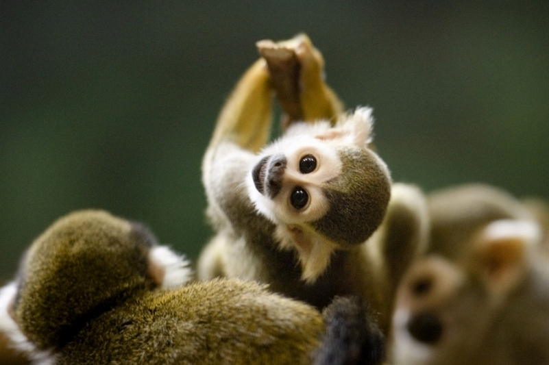 10 cutest most cuddly exotic pets baby squirrel monkey voltagebd Image collections