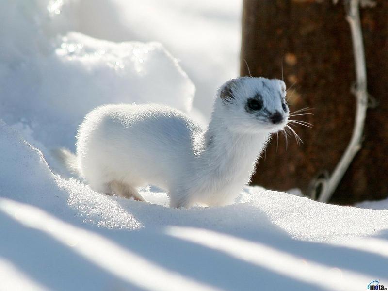 white animals12
