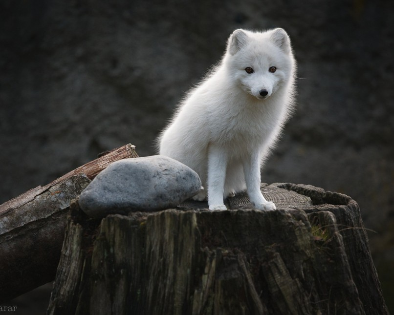 white animals13