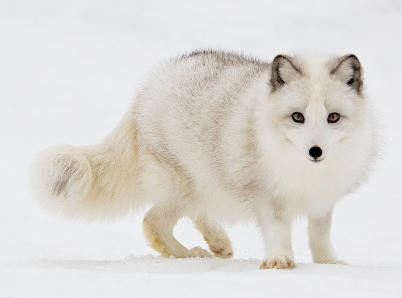 white animals9