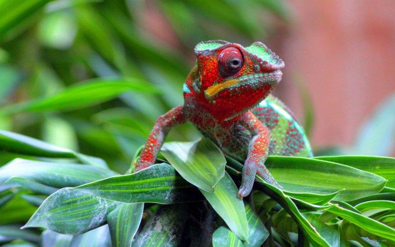 chameleon12