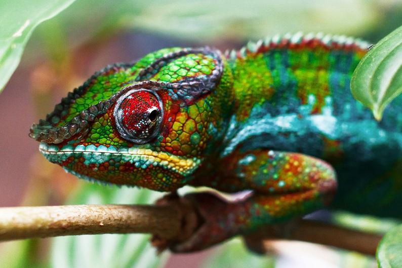 chameleon13