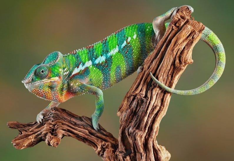 chameleon14