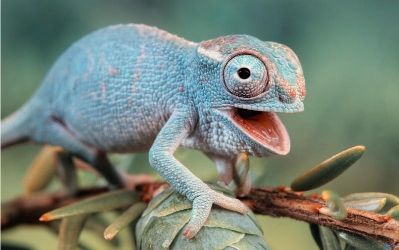 chameleon15