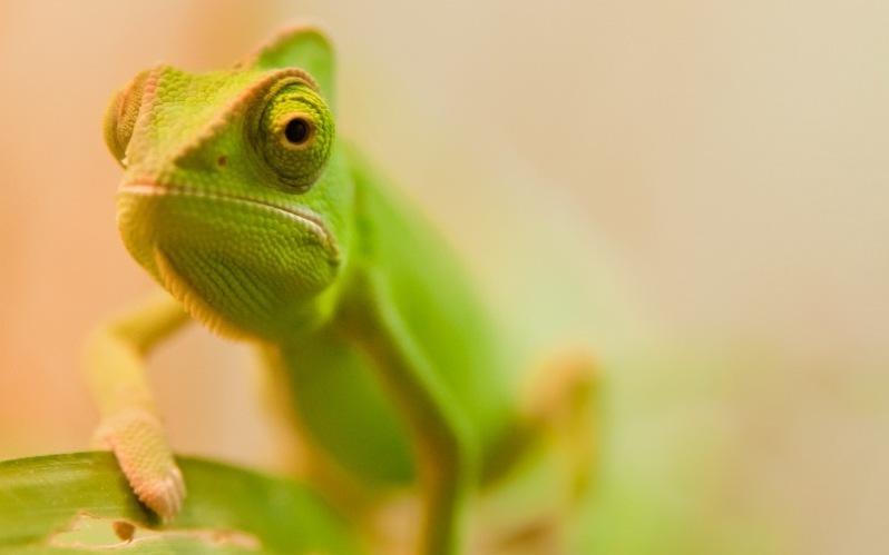 chameleon17