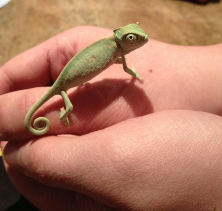 chameleon19