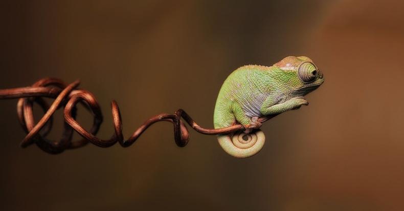 chameleon21
