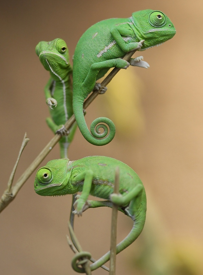 chameleon23