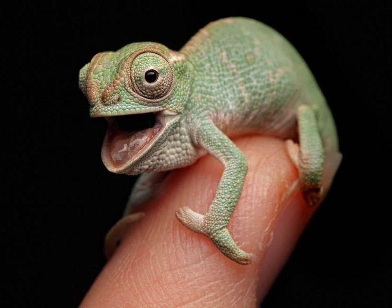 chameleon25