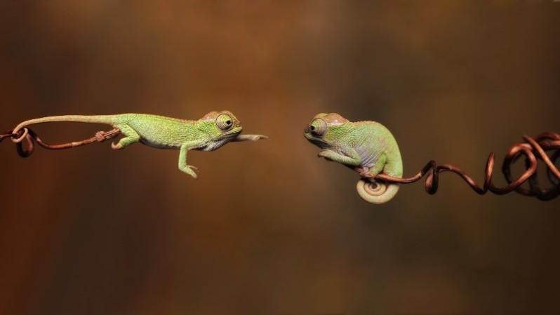 chameleon7