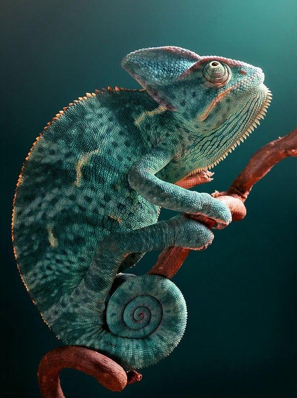 chameleon8