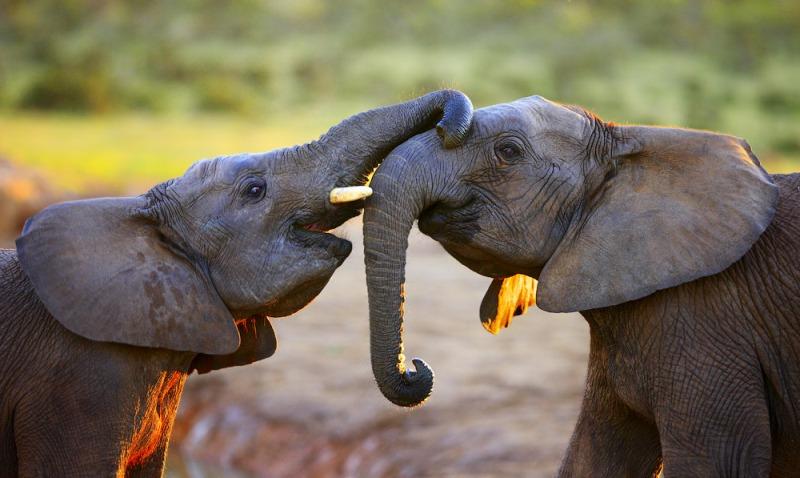 Elephants interacting