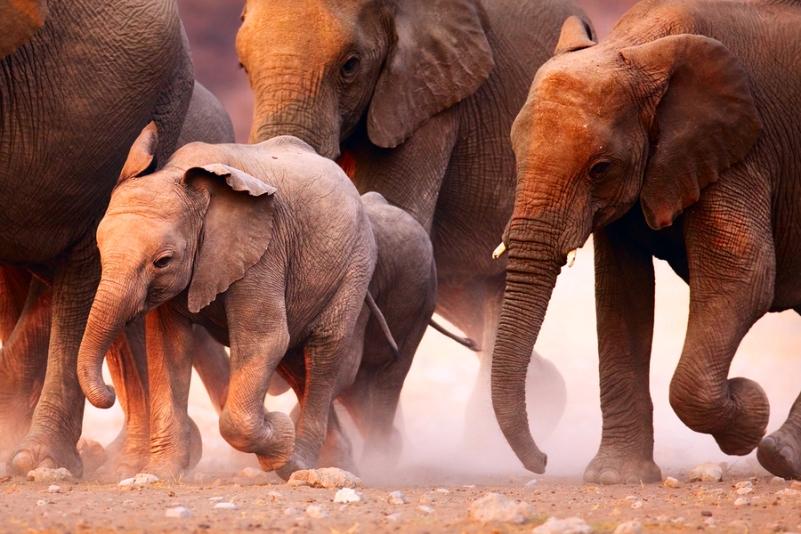 Elephants herd running