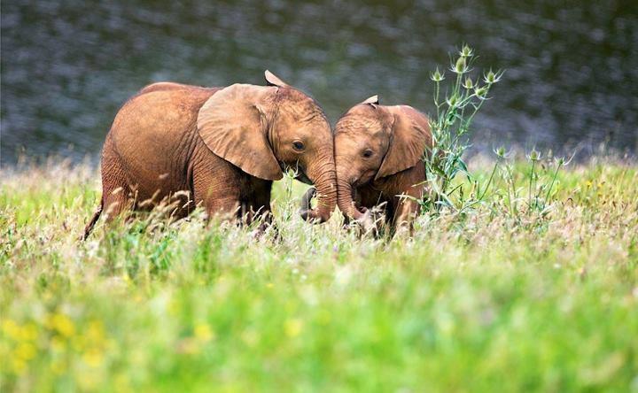 elephants13