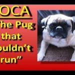 Loca, The Pug Who Can't Run