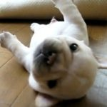 Cute Puppy Can't Roll Over
