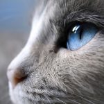 Jigsaw Puzzle: Blue Eyed Cat