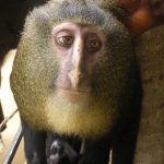 Animal Jigsaw Puzzles: Lesula Monkey