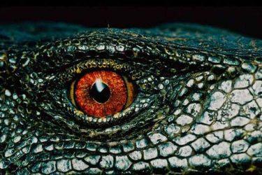 Jigsaw Puzzle: Alligator Eye
