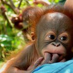 Jigsaw Puzzle: Baby Orangutan