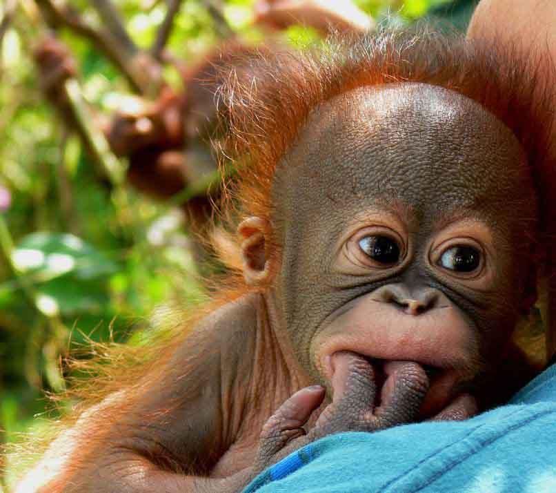 Jigsaw Puzzle Baby Orangutan