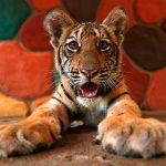 Animal Jigsaw Puzzles: Tiger Cub