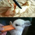 Animal Cuteness Battle – Duck Being Vacuumed vs Bunny Eating Carrot