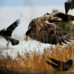 Animal Jigsaw Puzzles: Eagle