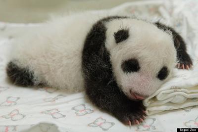 giant panda baby2