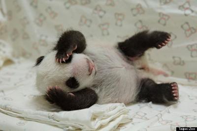 giant panda baby3