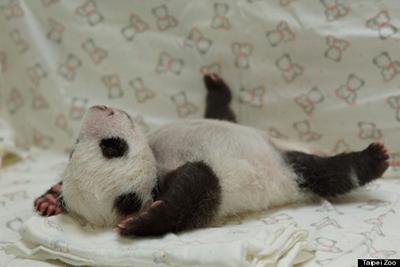giant panda baby4
