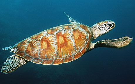 Green turtle (Chelonia mydas) swimming, underwater view