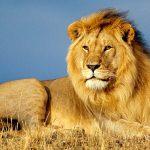 Lion Quiz