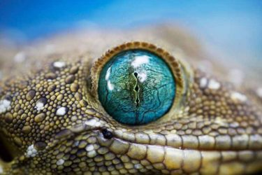 Jigsaw Puzzle: Lizard Eye