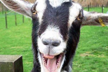 Jigsaw Puzzle: Smiling Goat