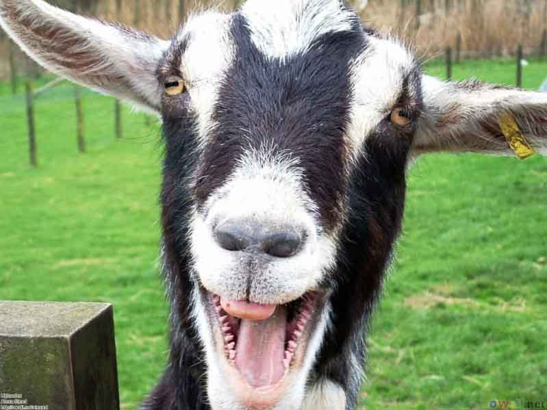 jigsaw puzzle smiling goat