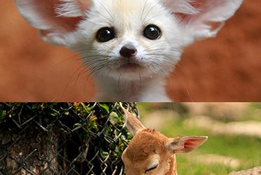 Animal Cuteness Battle  – Bambi vs Fennec Fox