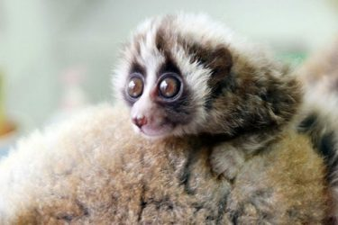 Animal Jigsaw Puzzles:Cute Slow Loris
