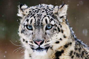 Jigsaw Puzzle: Snow Leopard