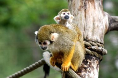 Animal Jigsaw Puzzles:Cute Squirrel Monkey