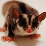 Animal Jigsaw Puzzles: Cute Sugar Glider