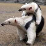 Animal Jigsaw Puzzles: Exotic Tamandua