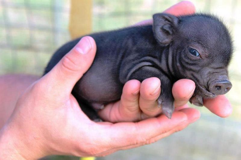 teacup pig2 - Some Pets