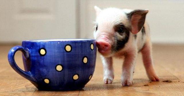 teacup pig4