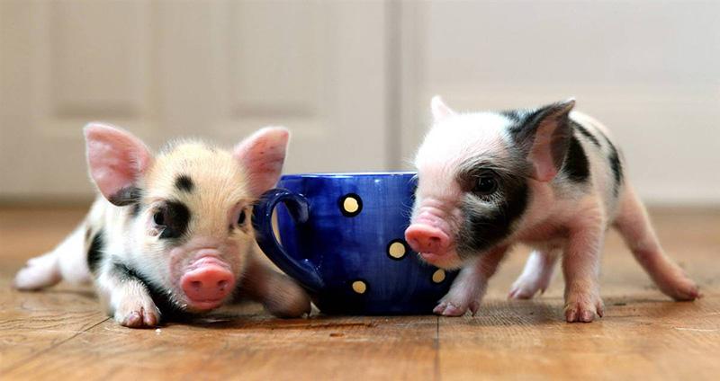 teacup pig7