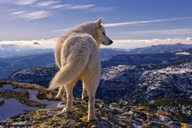 Jigsaw Puzzle: White Wolf