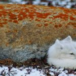 Animal Jigsaw Puzzles: Arctic Fox