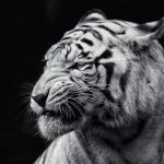 Jigsaw Puzzle: Black & White Tiger