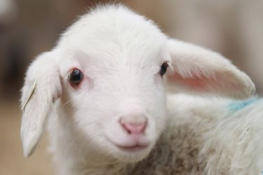 Jigsaw Puzzle: Cutest Baby Sheep