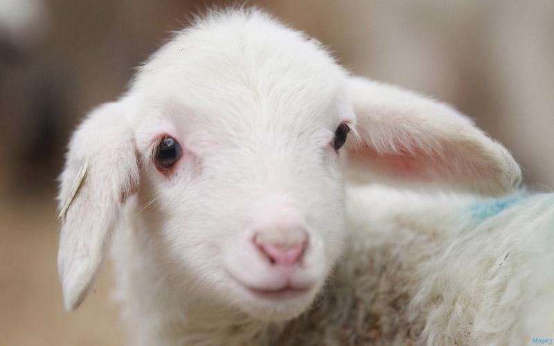 Jigsaw Puzzle Cutest Baby Sheep